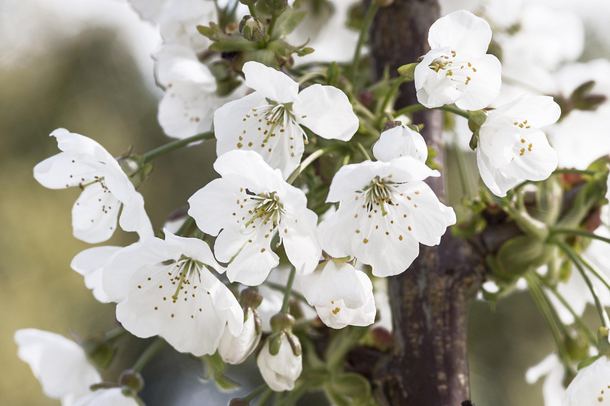 prunus-avium-regina-3