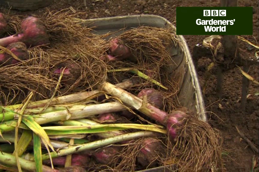 How to harvest garlic bulbs video