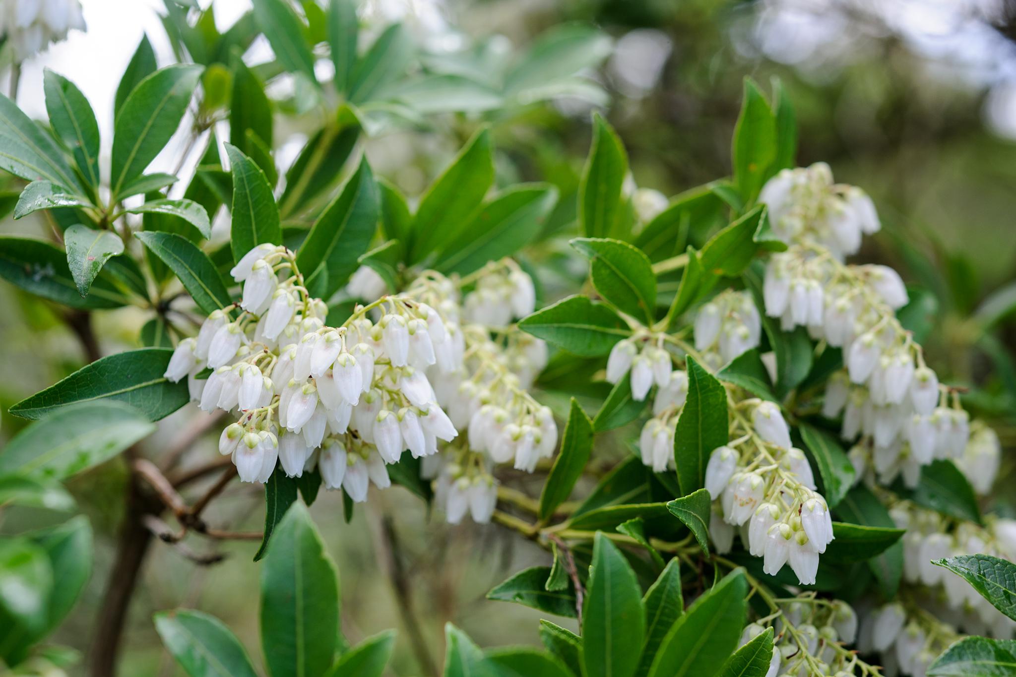 pieris-flowers-2