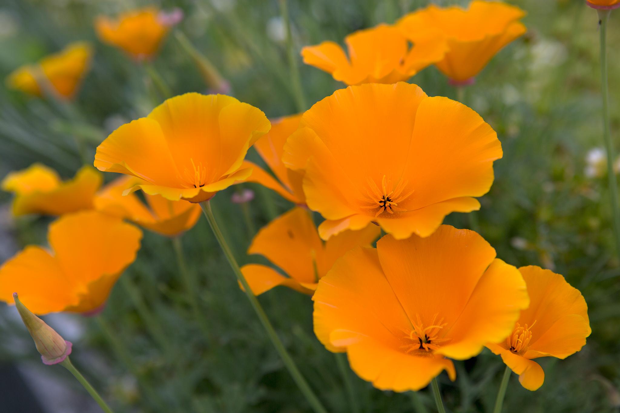 eschscholzia-californica-californian-poppy-2
