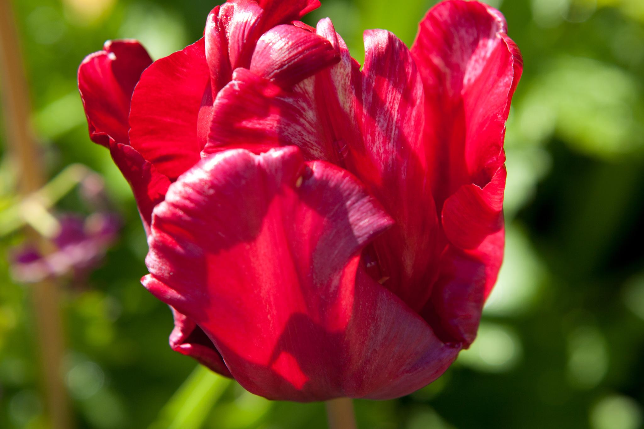 tulip-bastogne-2