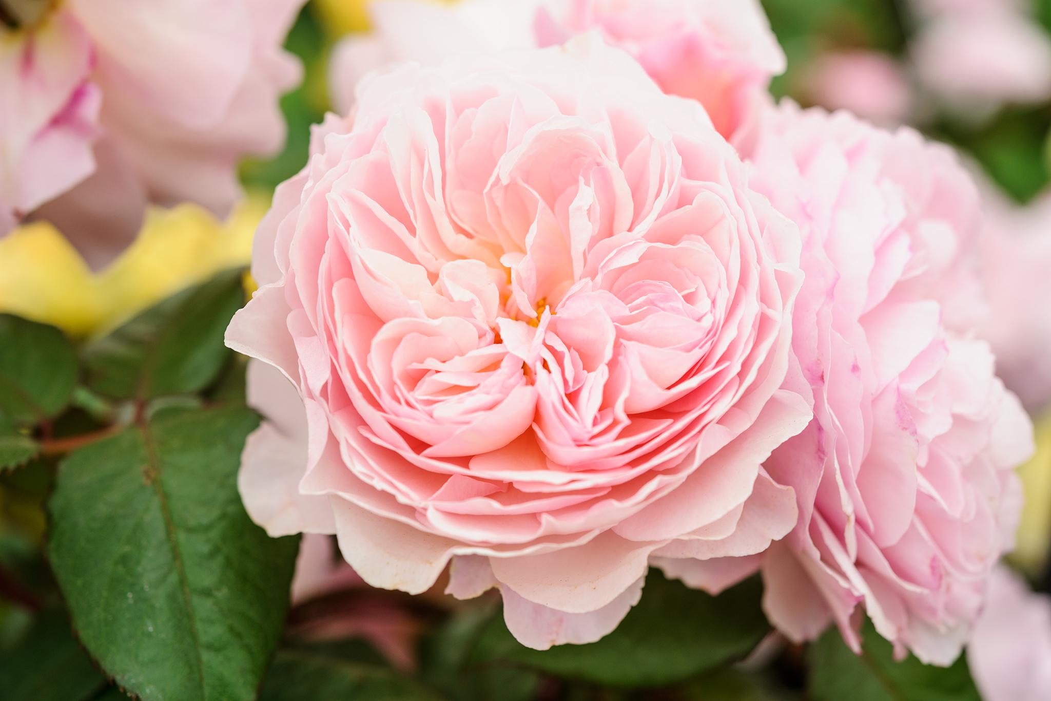 rosa-a-shropshire-lad-13