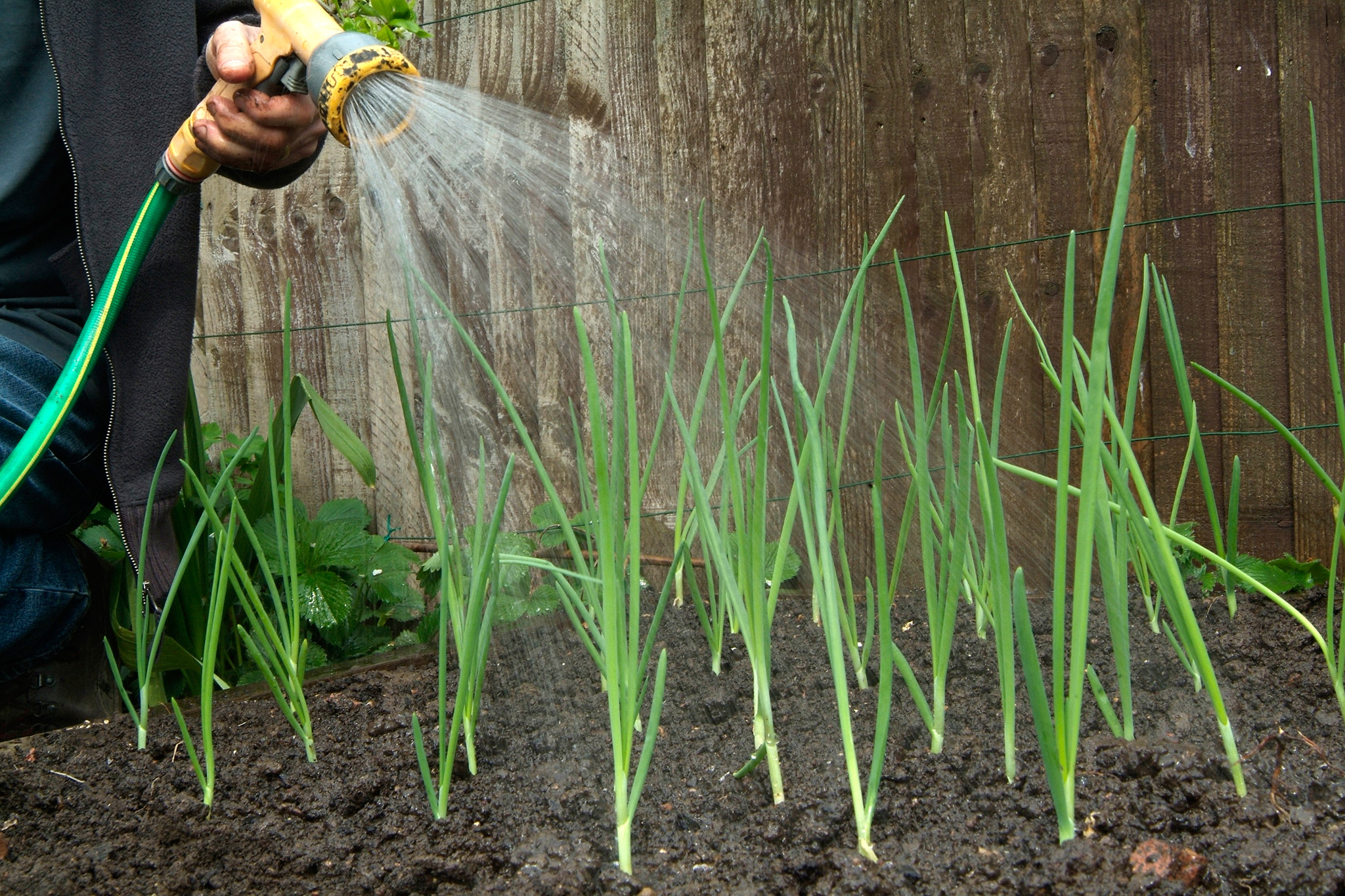 watering-an-onion-crop-2