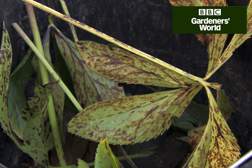 How to tackle hellebore leaf spot video