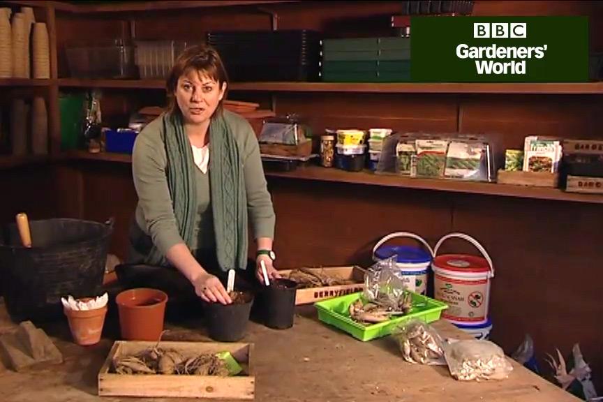 How to plant dahlia tubers video