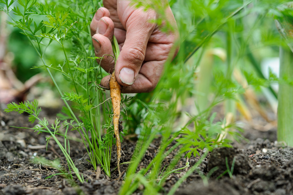 thinning-out-carrots-3
