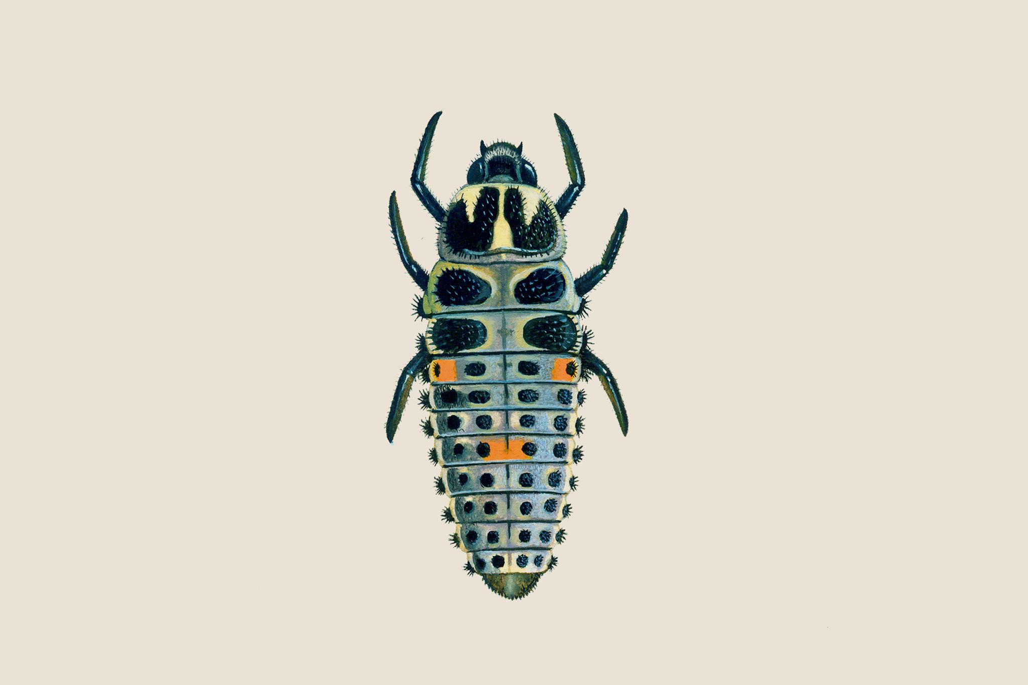 two-spot-ladybird-larvae-2