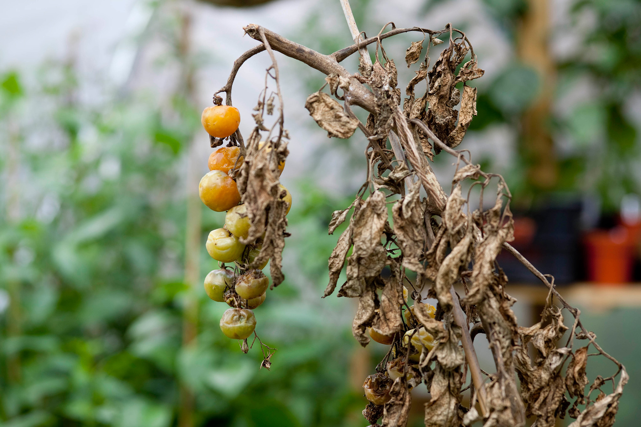 Blighted tomato crop