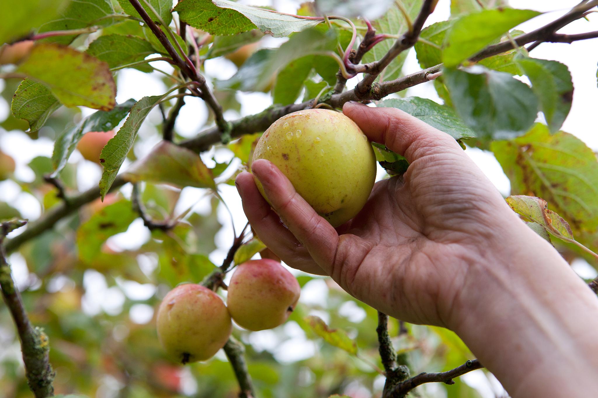 picking-apples-4