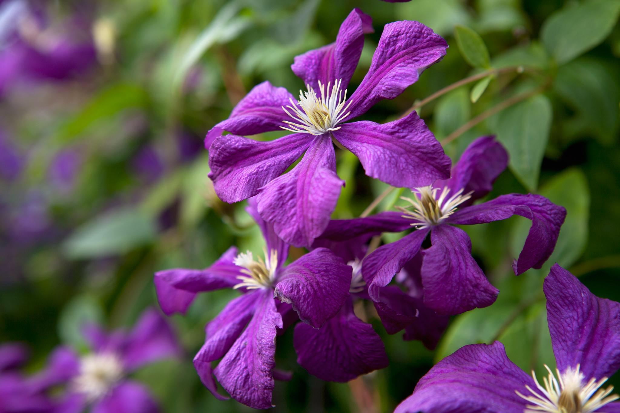clematis-viticella-etoile-violette-5