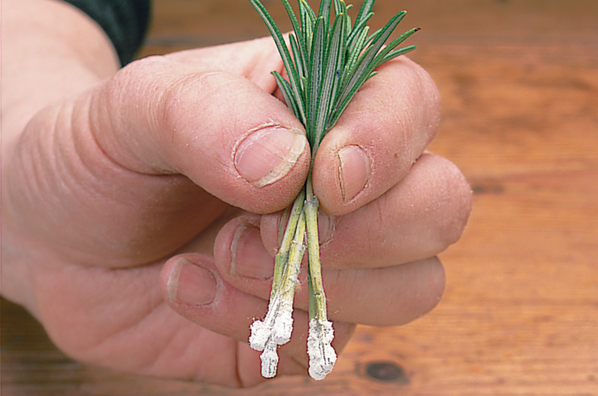 dipping-stems-in-rooting-powder-2