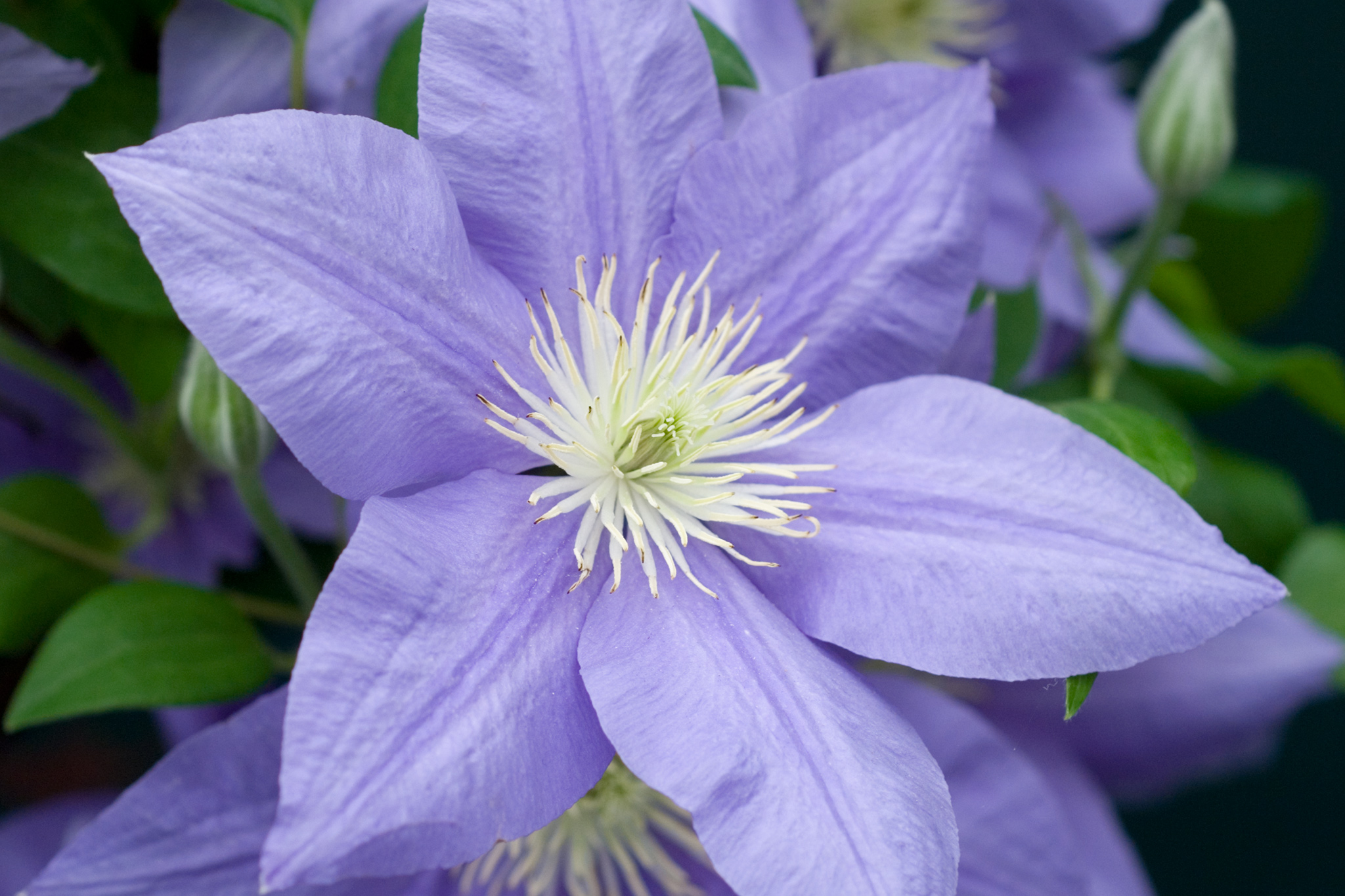 clematis-cezanne-4