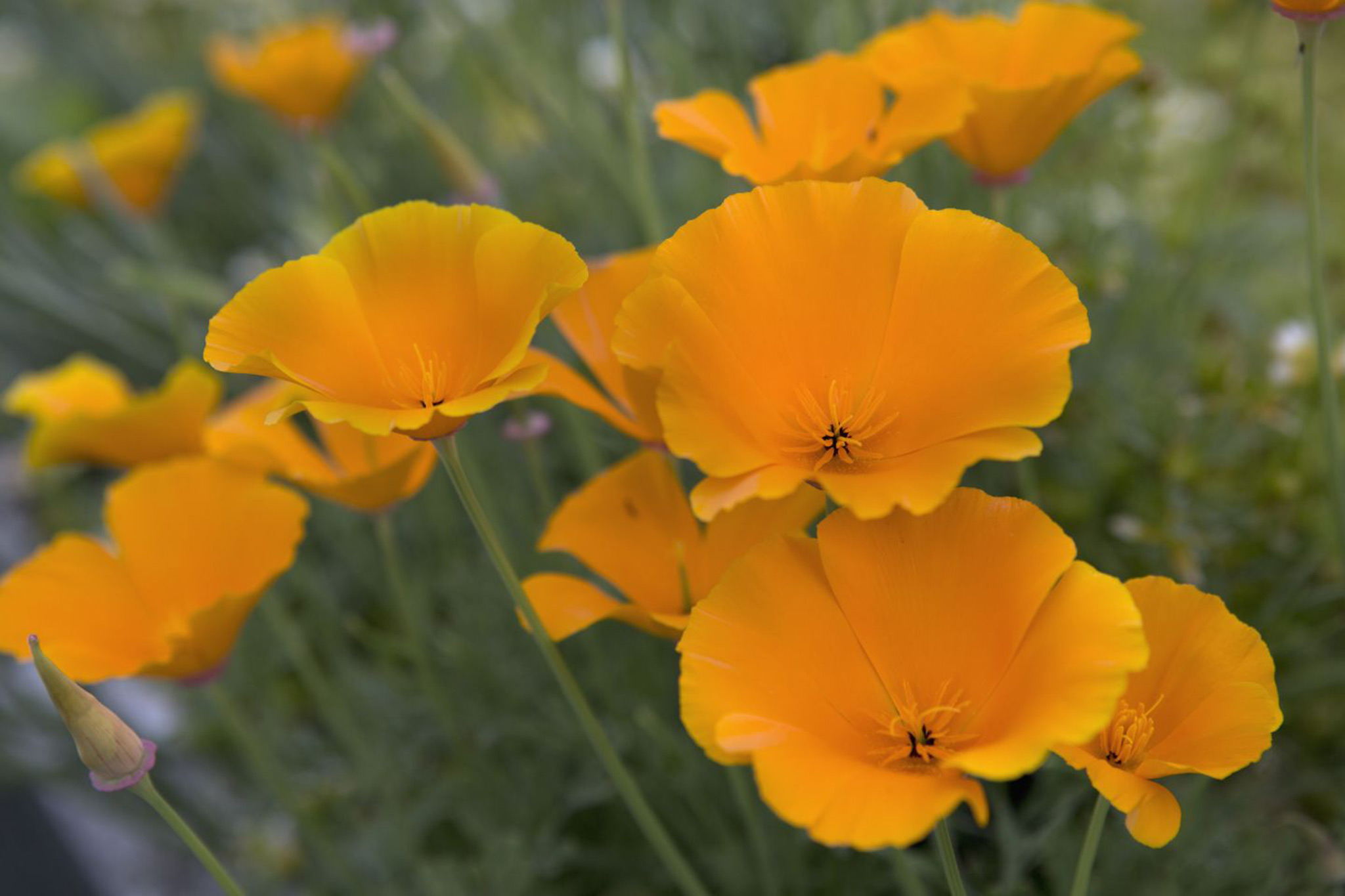 Grow California Poppies From Seed Gardenersworld
