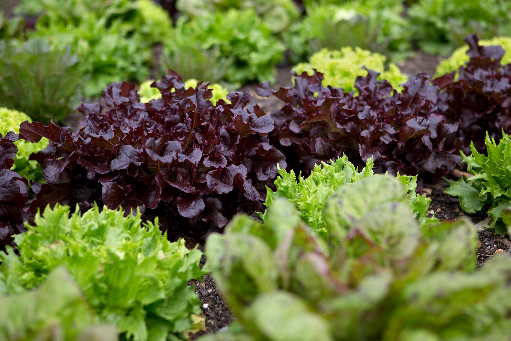 lettuce-varieties-3