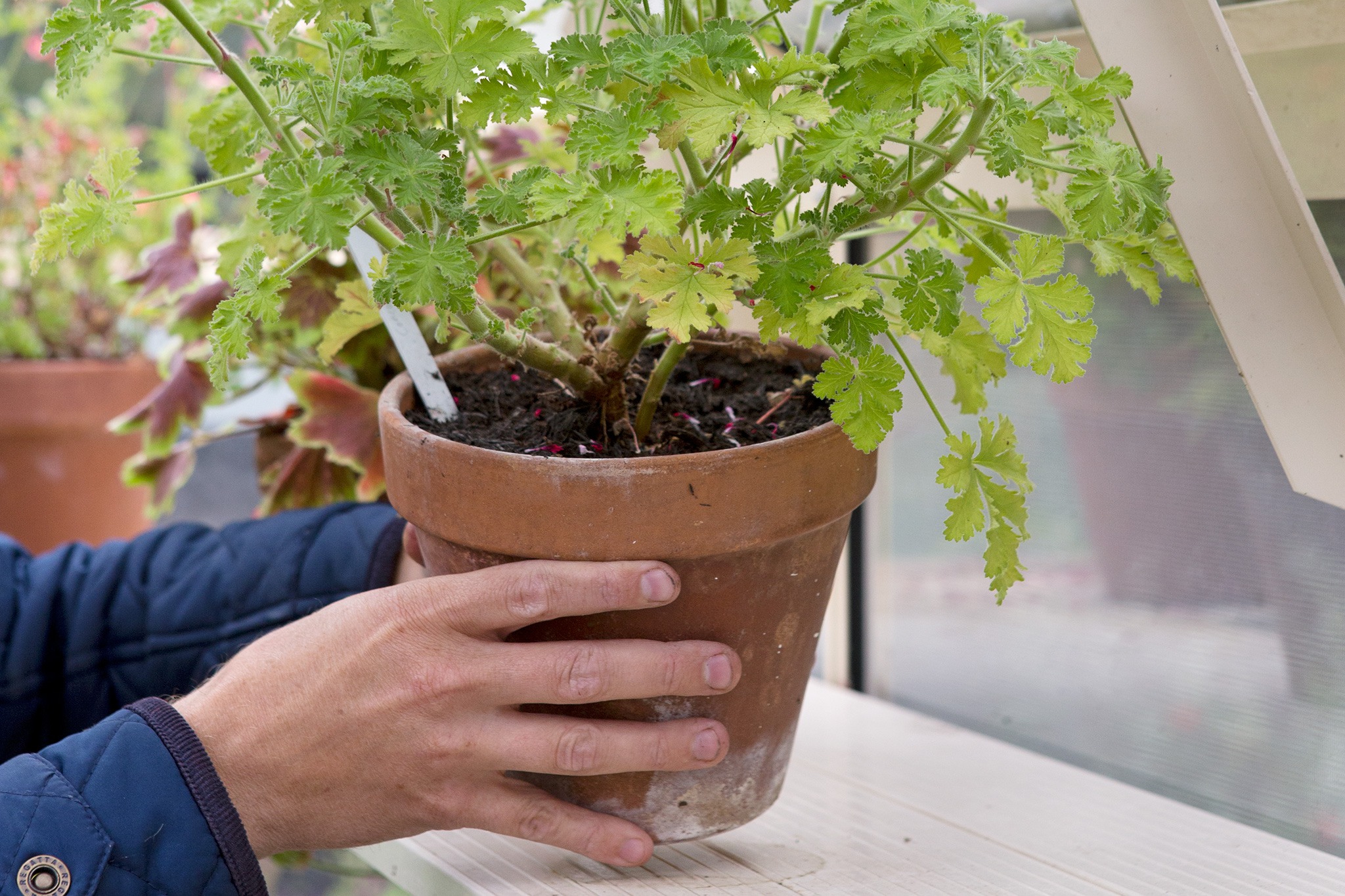 tidy-up-pelargoniums-2