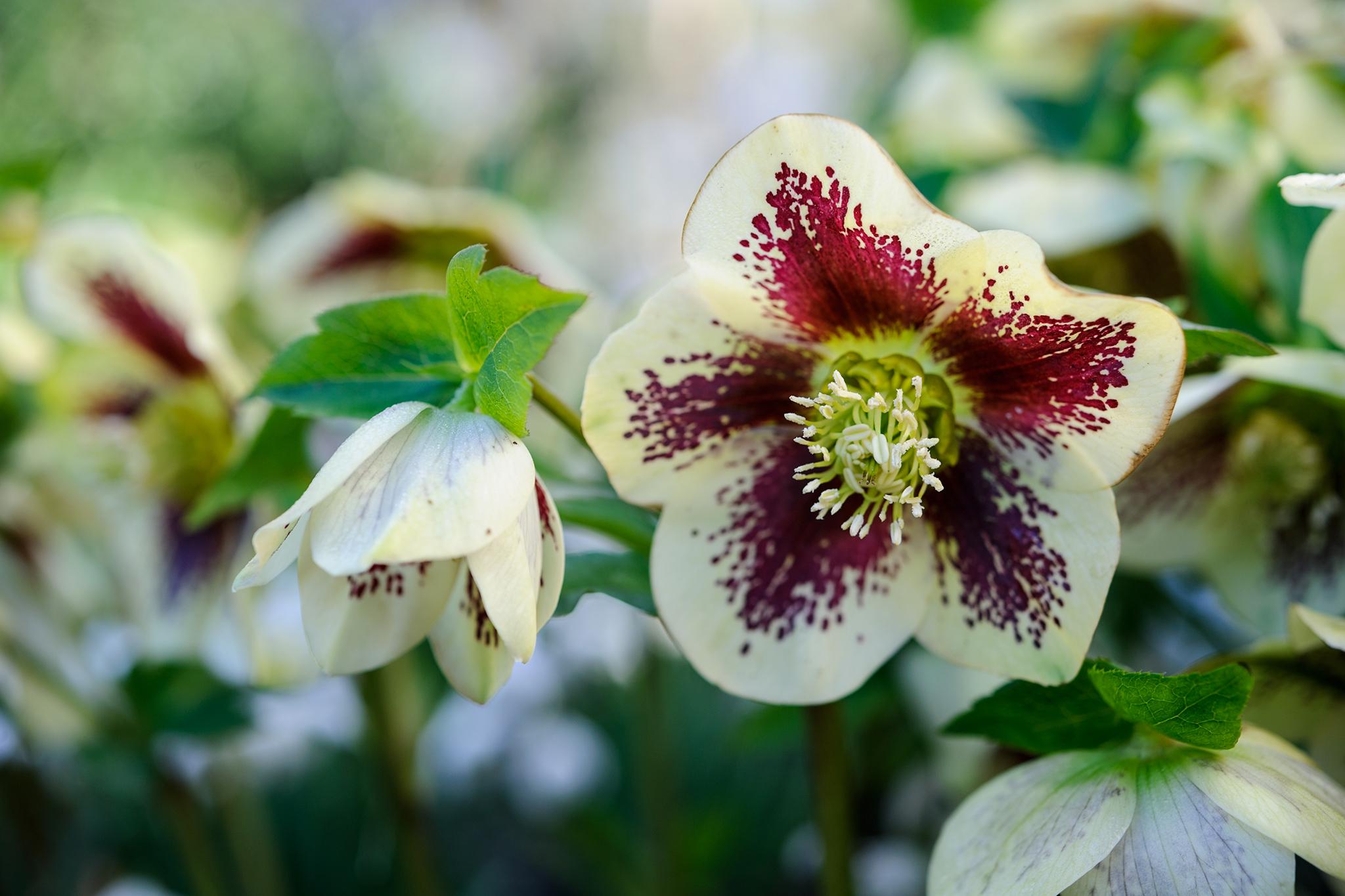 helleborus-ashwood-garden-hybrid-2