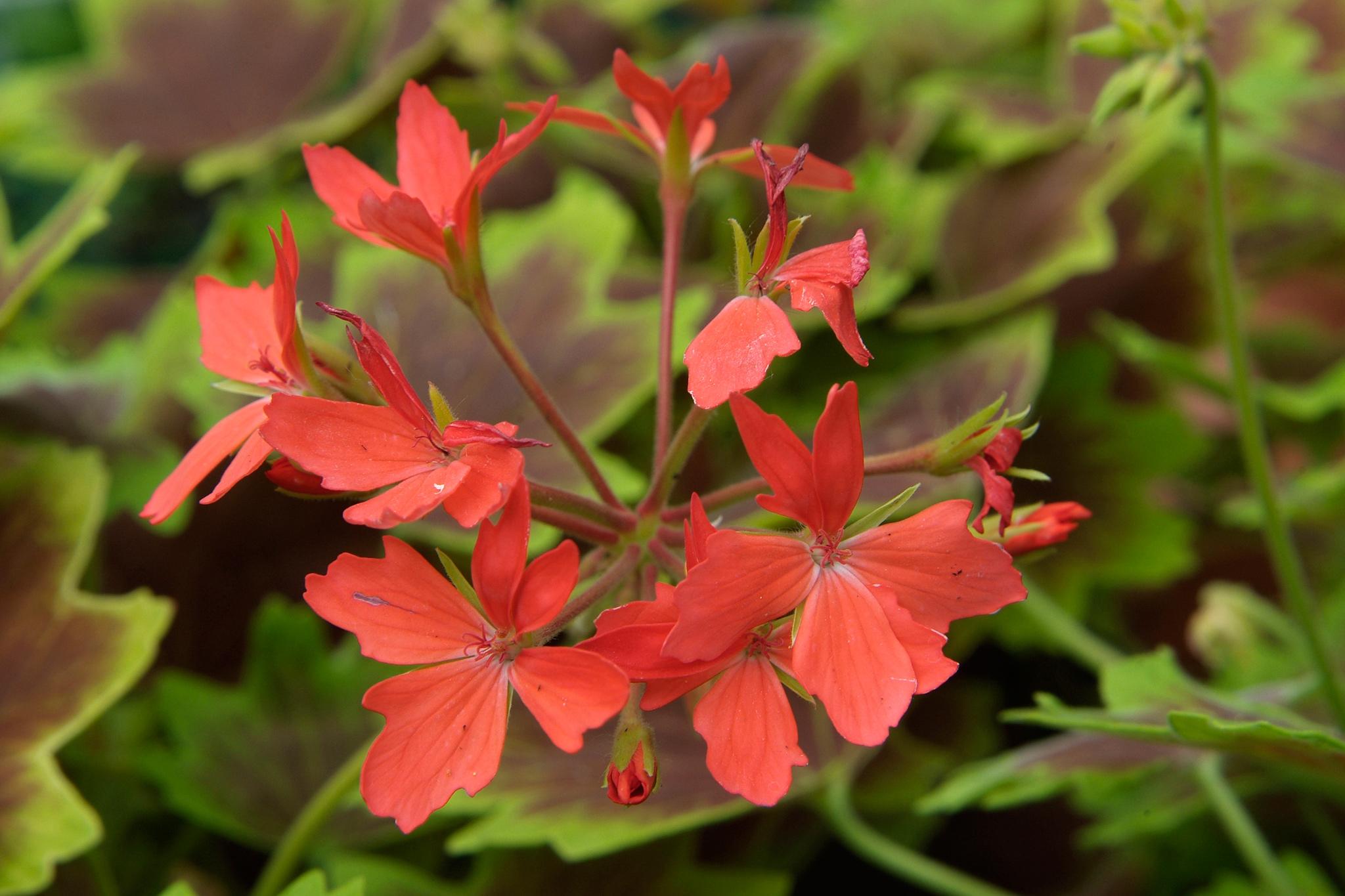 pelargonium-vancouver-centennial-2