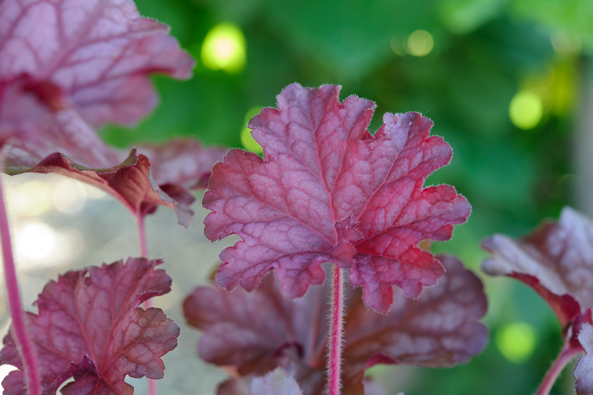 heuchera-berry-smoothie-3