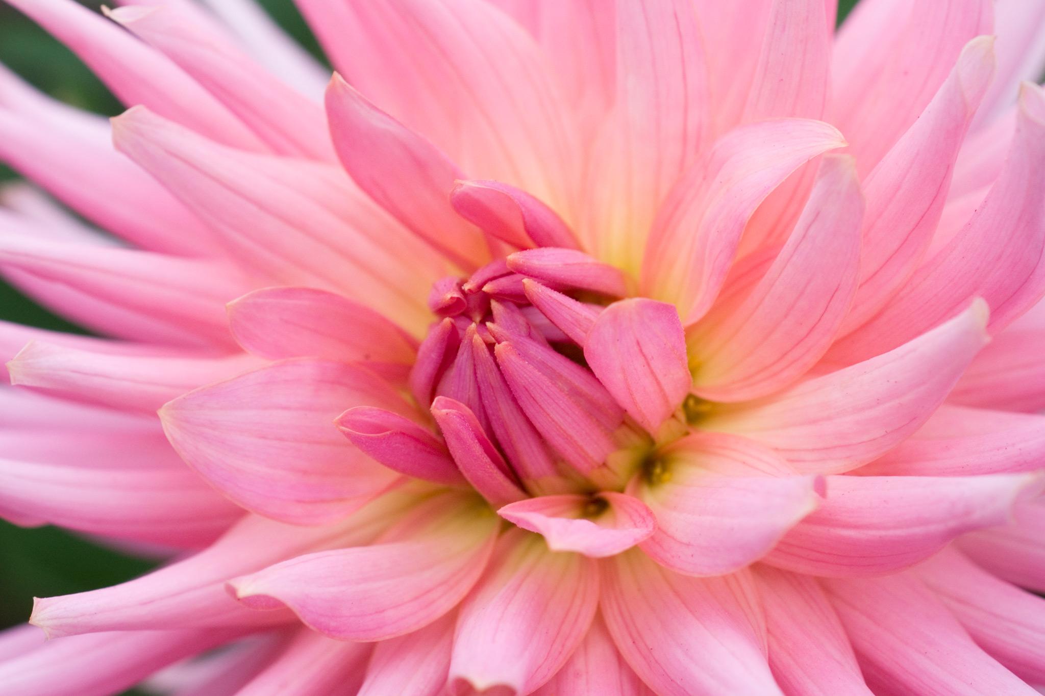 dahlia-pink-preference-2