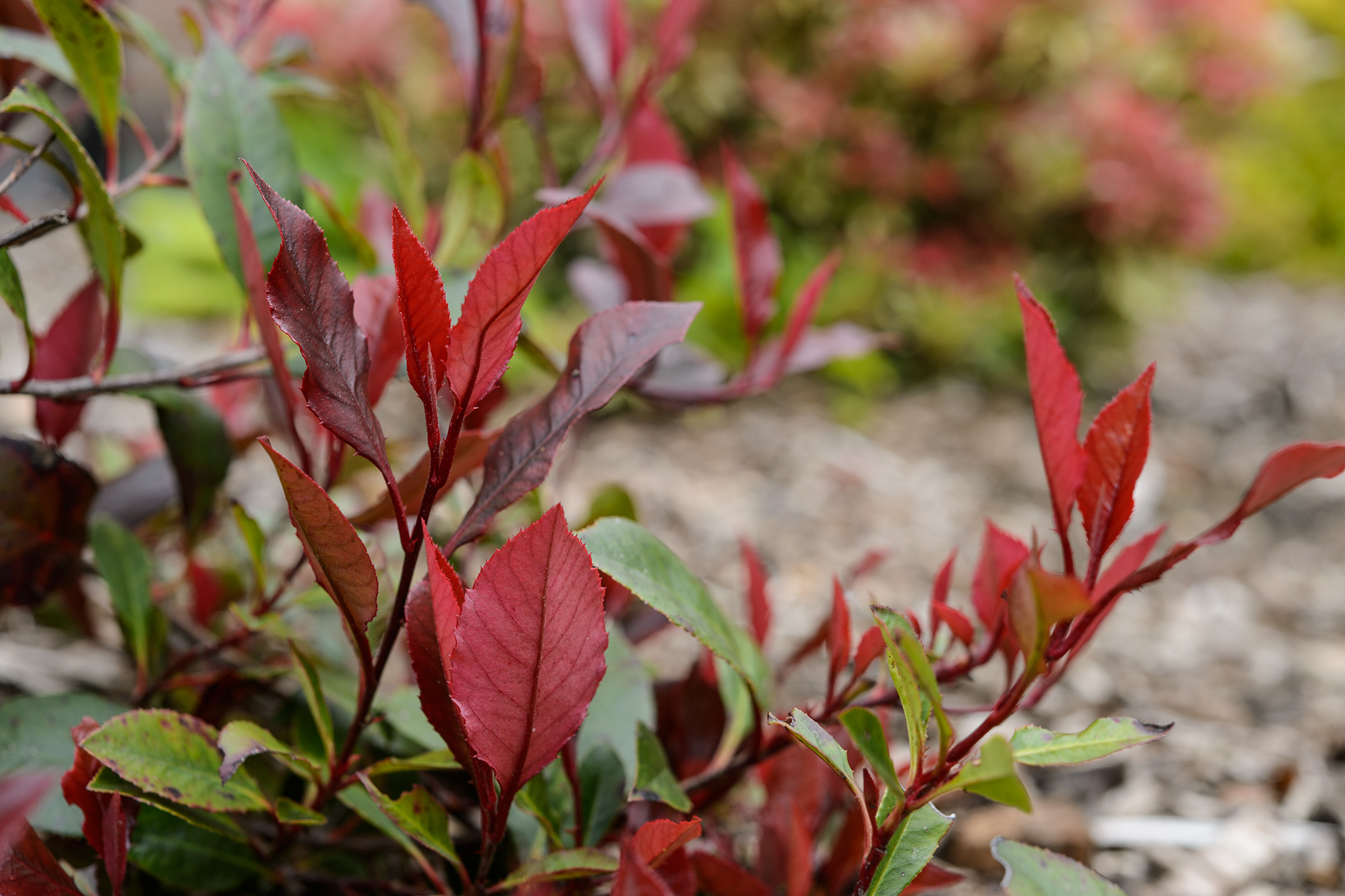 photinia-x-fraseri-red-robin-4