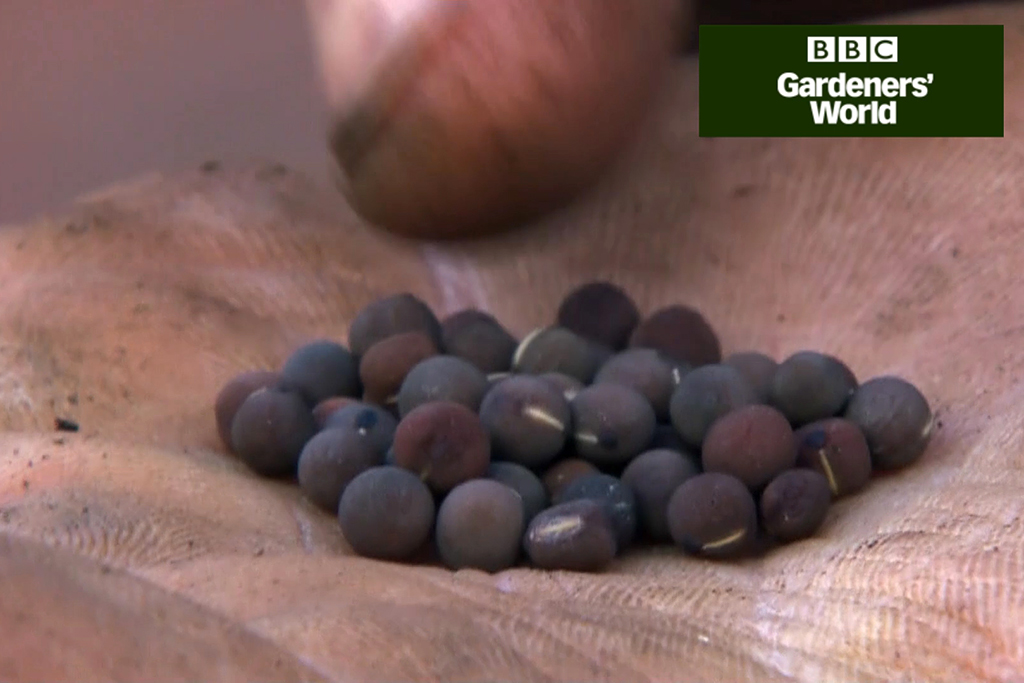 How to grow sweet peas in pots video