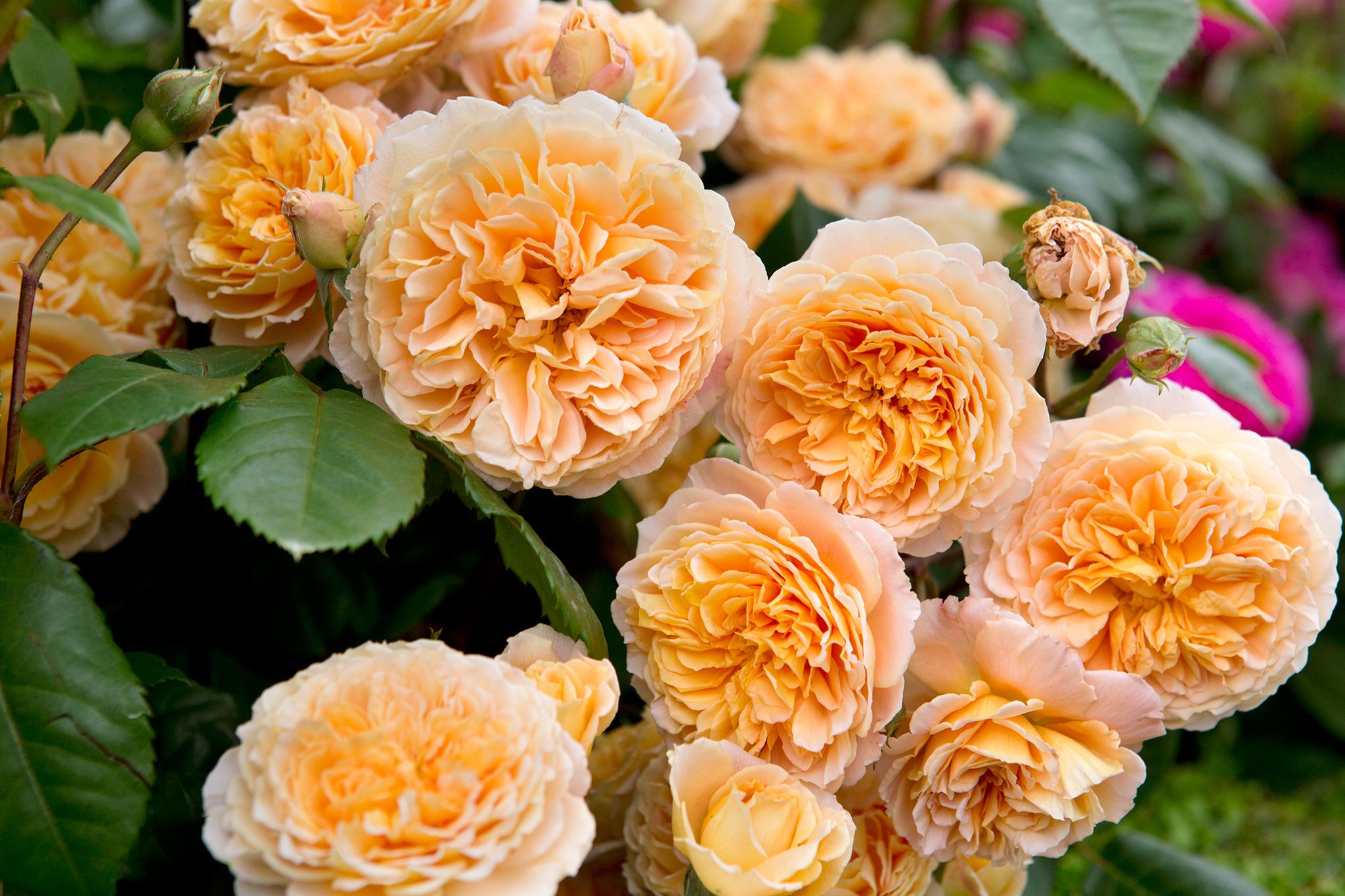 Climbing Roses to Grow