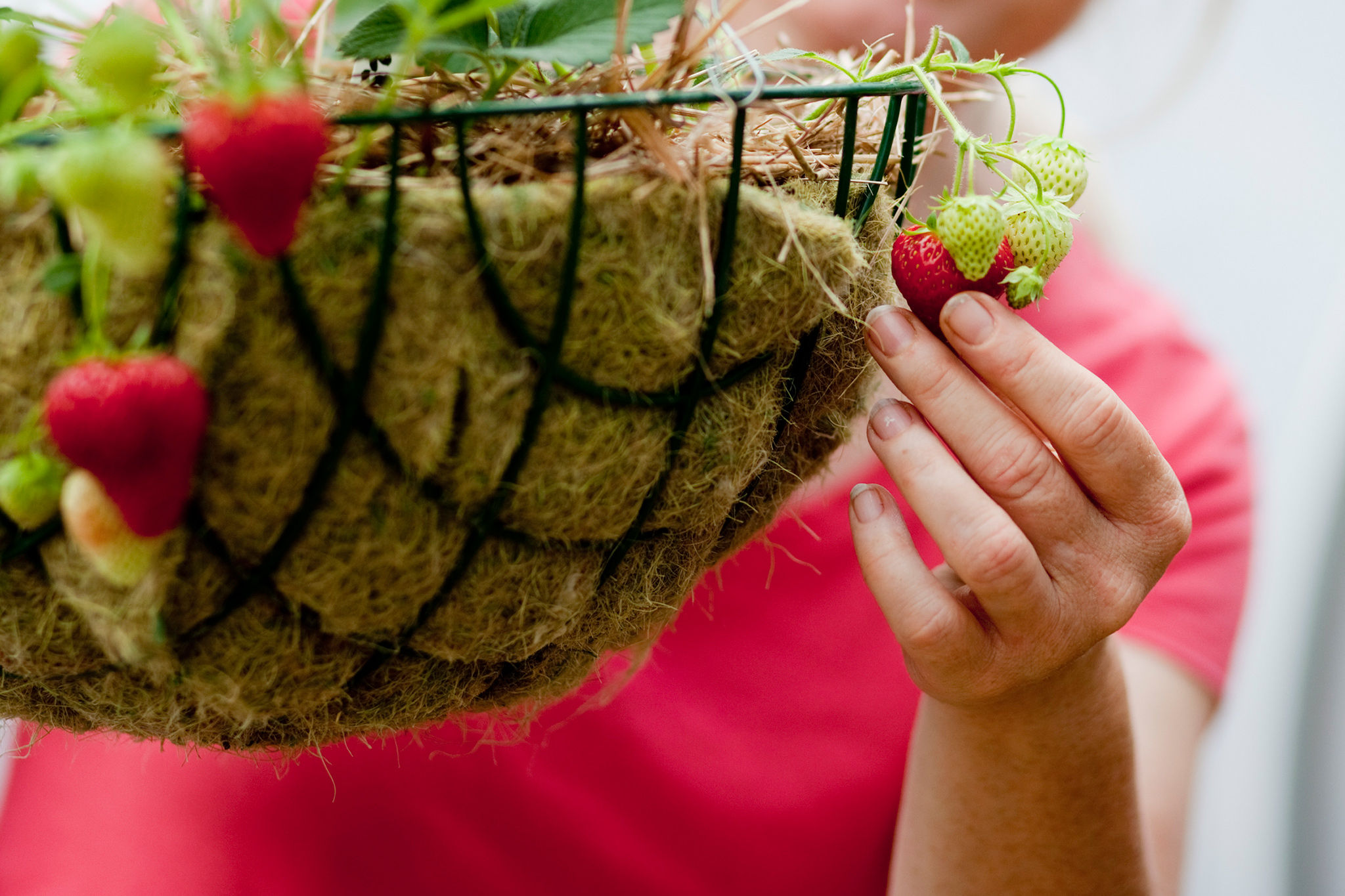 growing-strawberries-in-a-hanging-basket-2