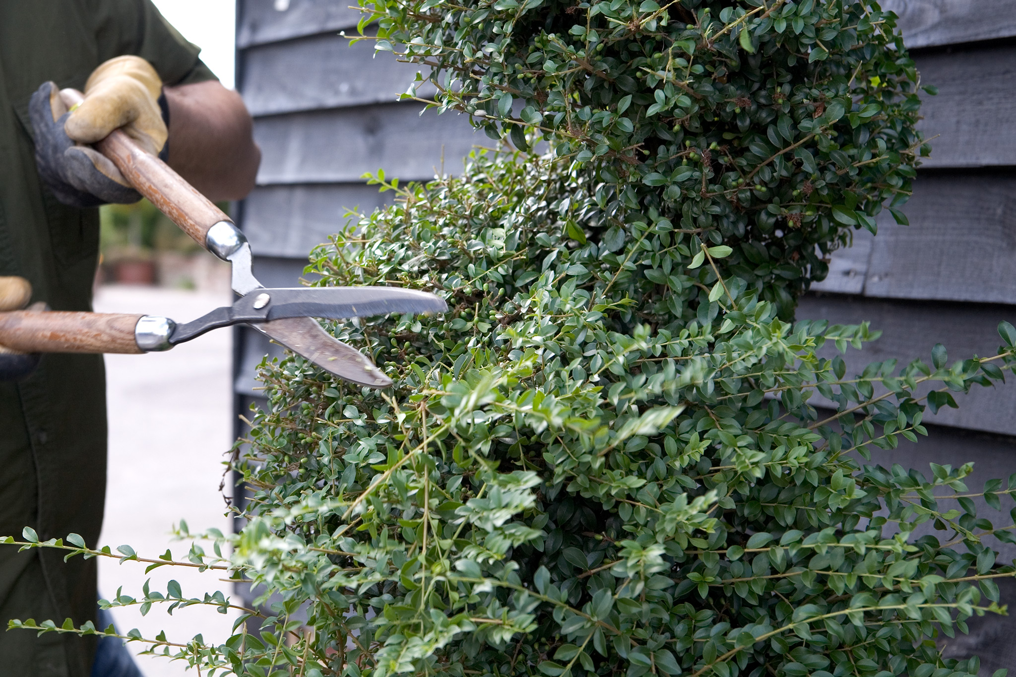 clipping-spiral-box-topiary-with-shears-3