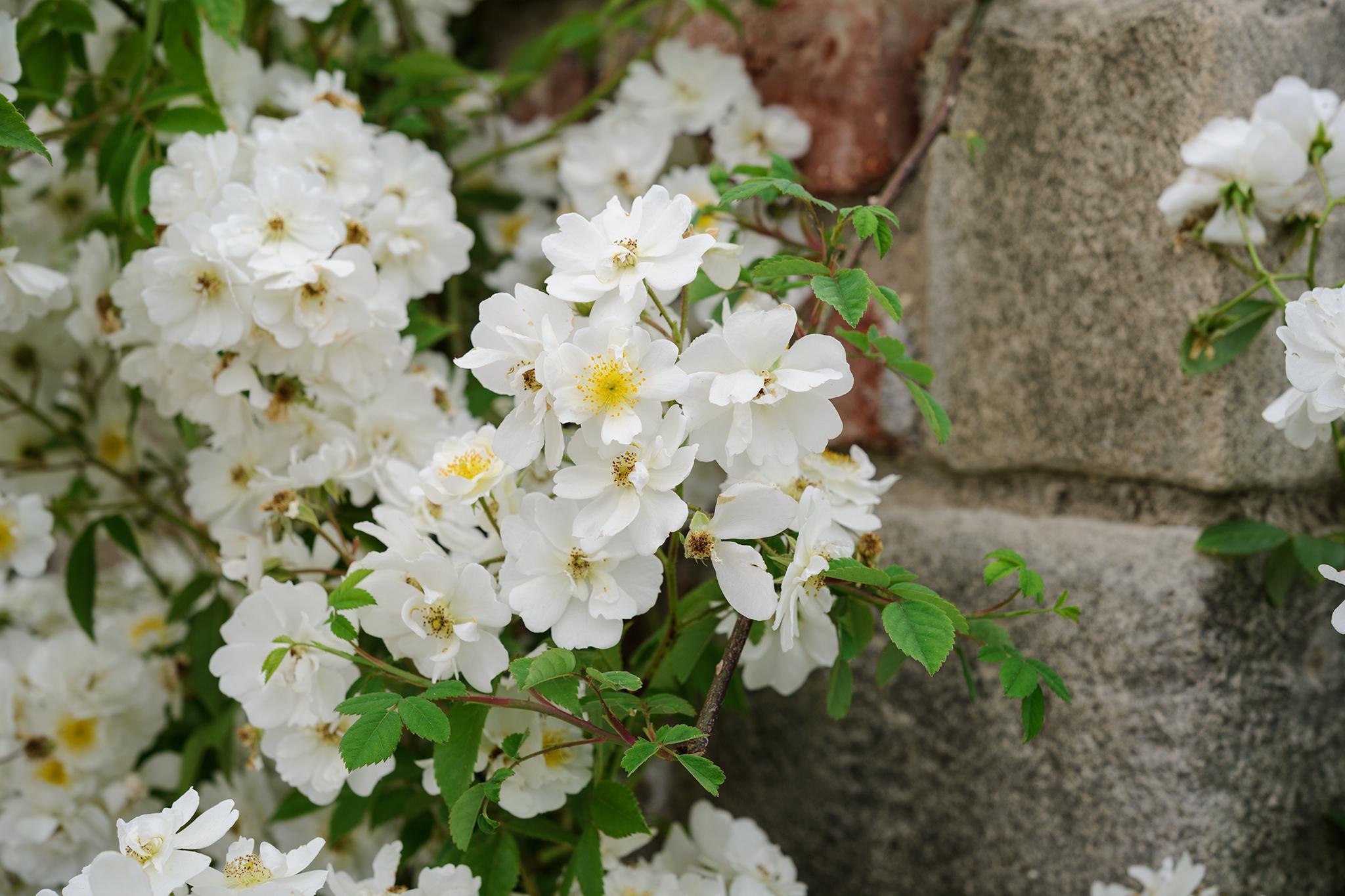 rambling-rose-10