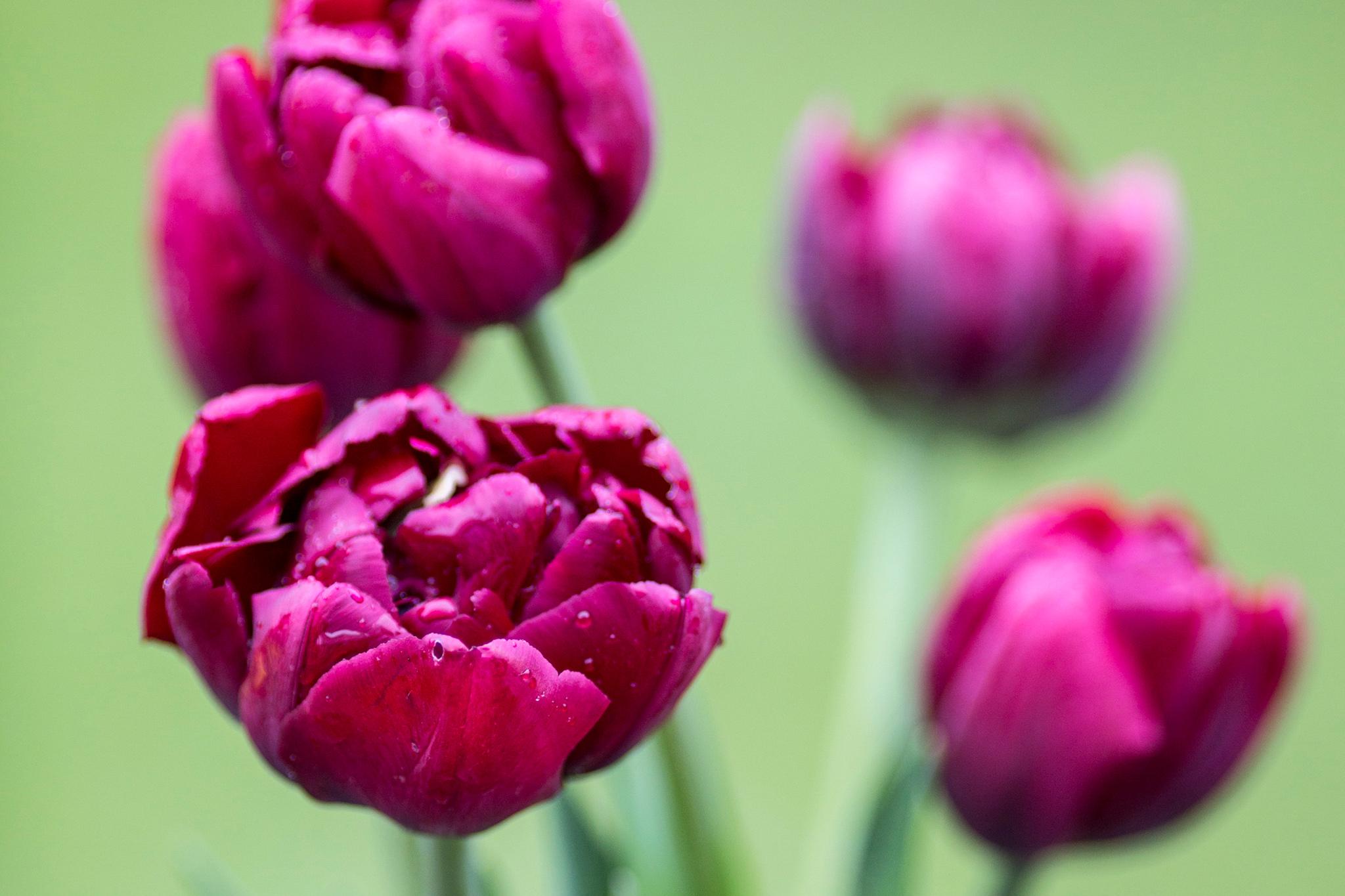 tulip-antraciet-2