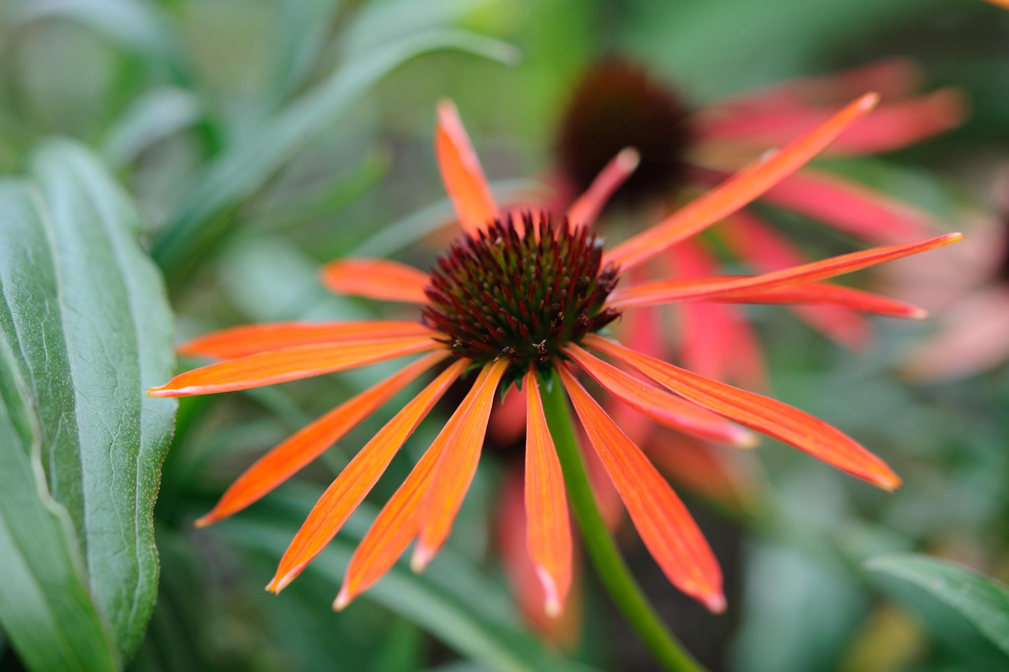 Eight essential border daisies