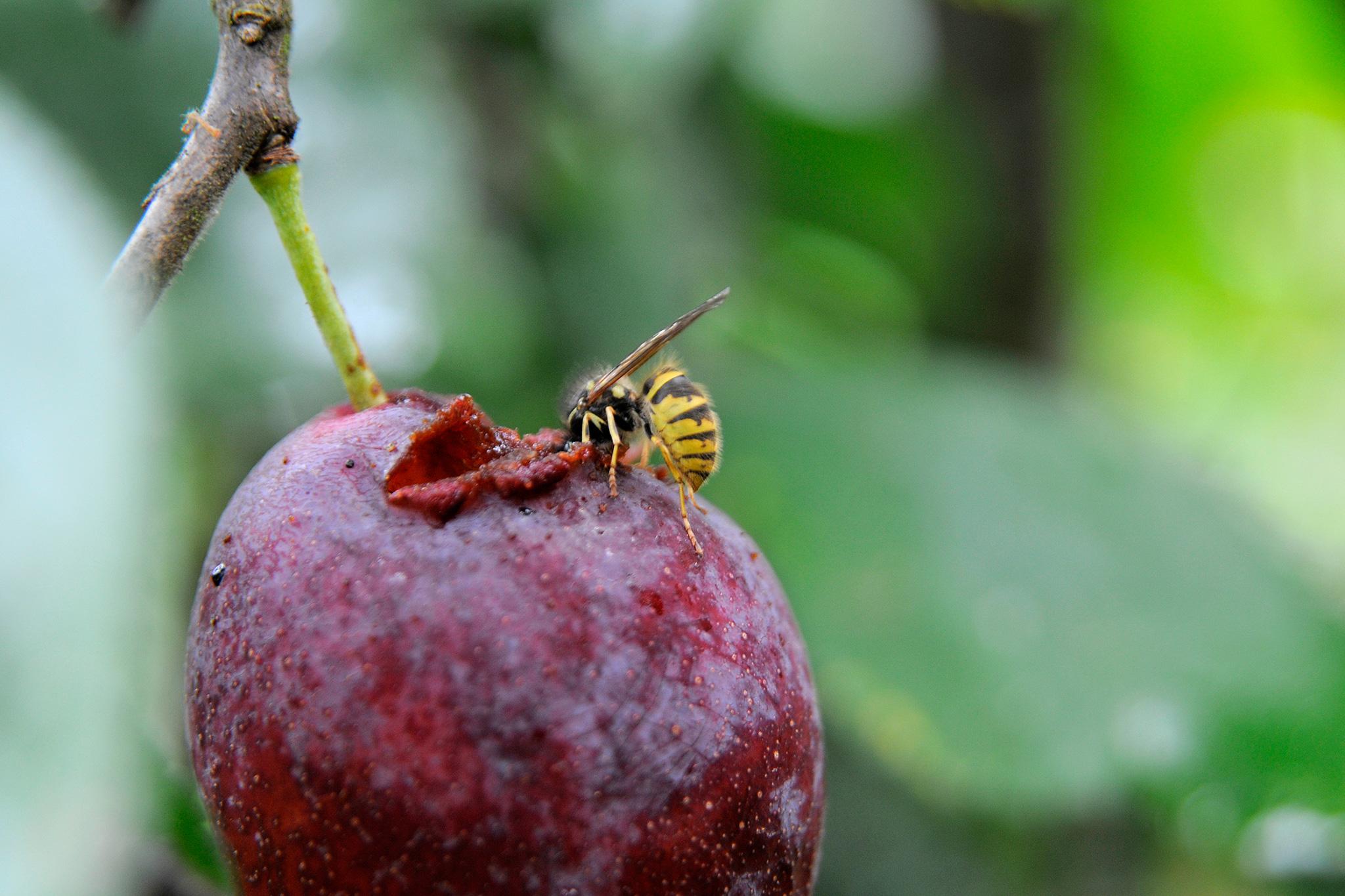 wasp-eating-plum-fruits-2