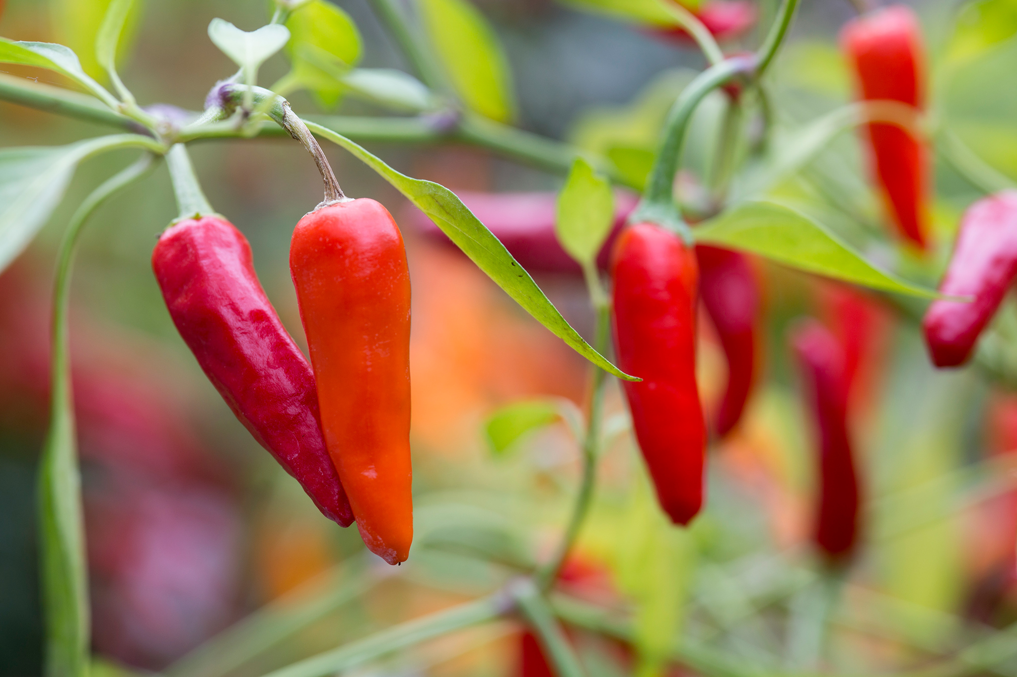 Spicy chillies