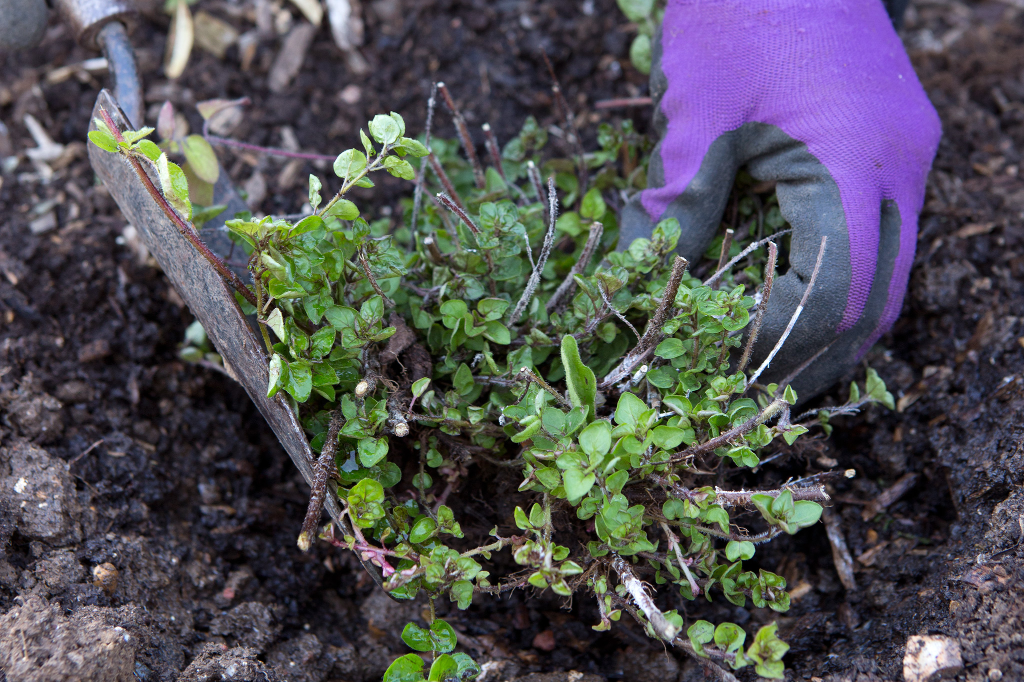 How to Divide Oregano, Chives and Lemon Balm