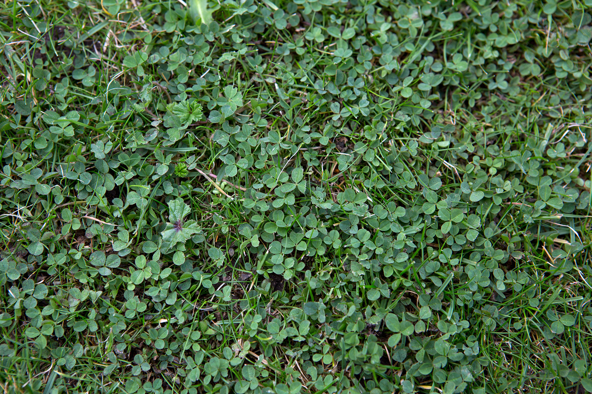 clover-growing-in-a-lawn-2
