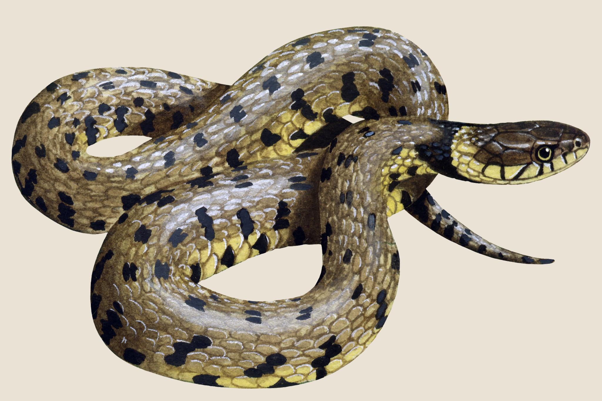 grass-snake-3