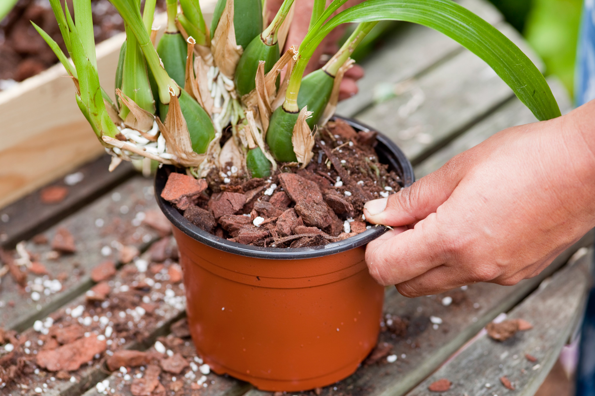repotting-orchids-plant-pot-bound-orchids-in-larger-pots-2