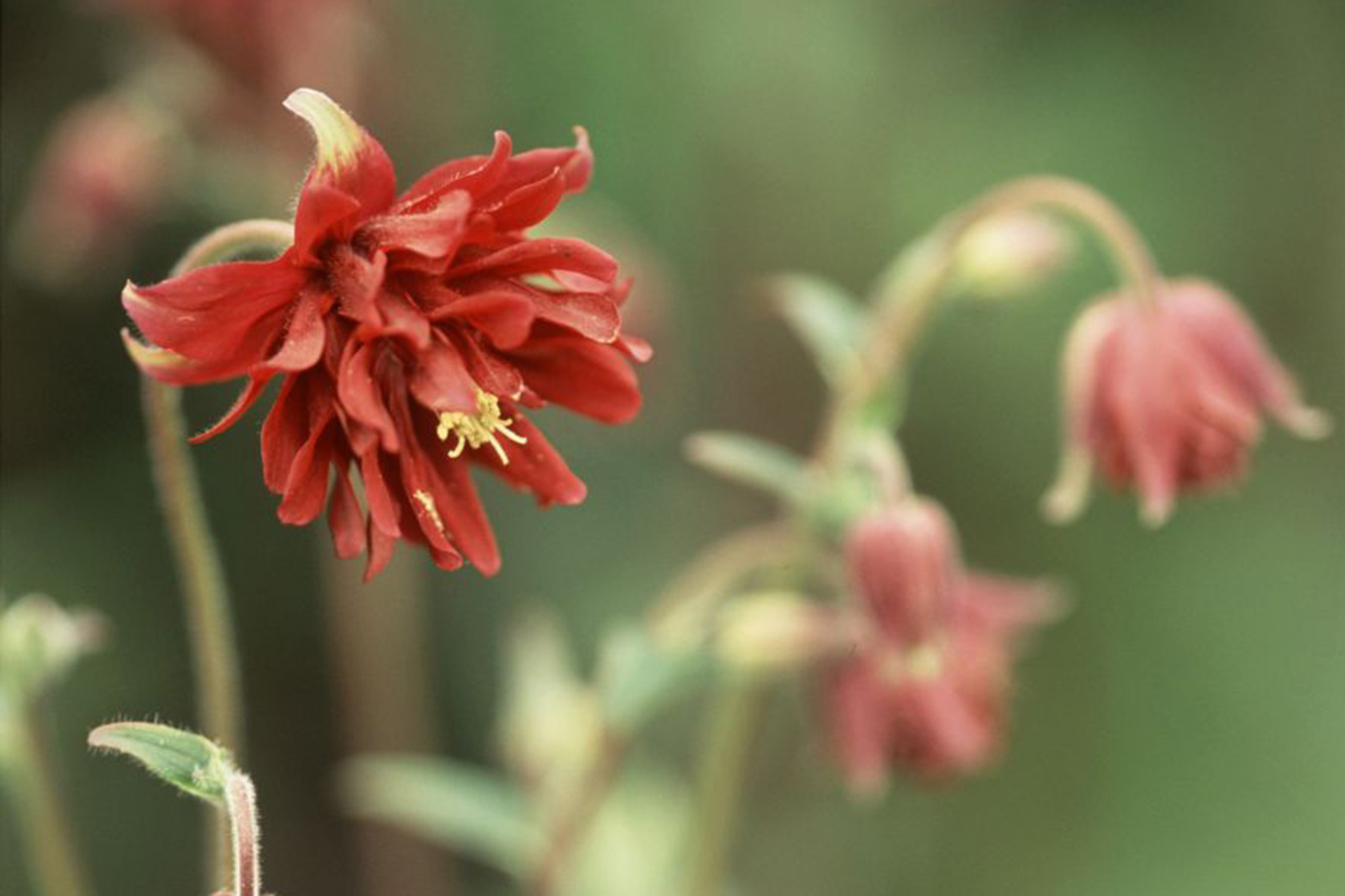 10 aquilegias to grow gardenersworld izmirmasajfo