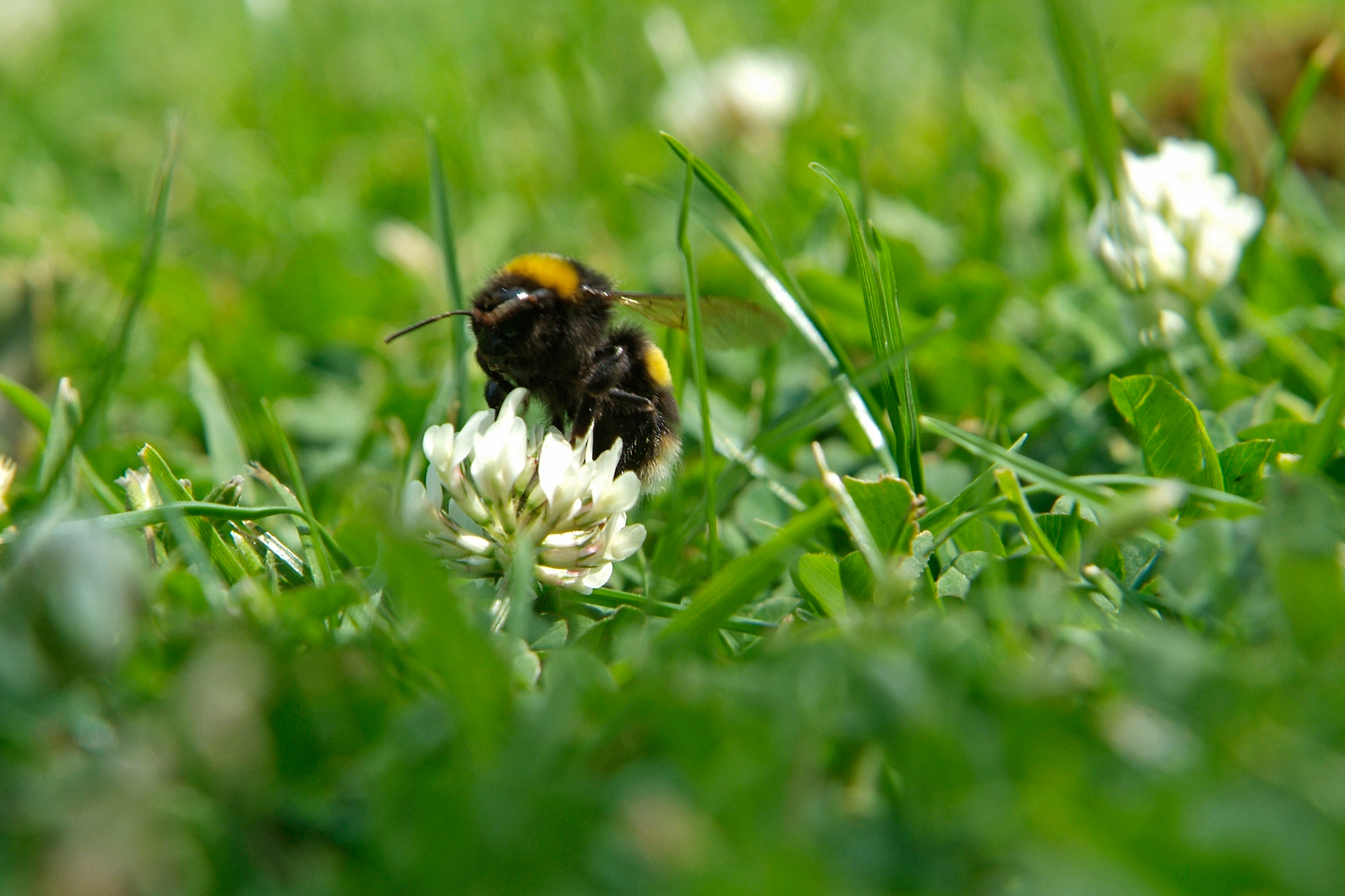 bumblebee-feeding-from-a-lawn-clover-2