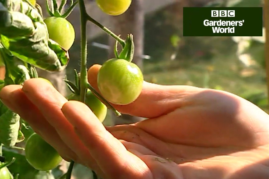 How to ripen tomatoes on the vine video