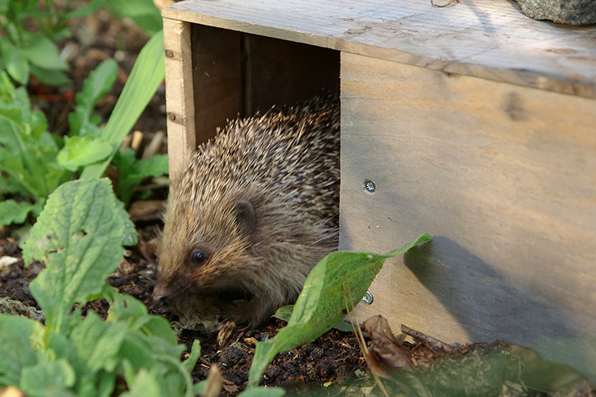 Making a hedgehog feeding station NFG video