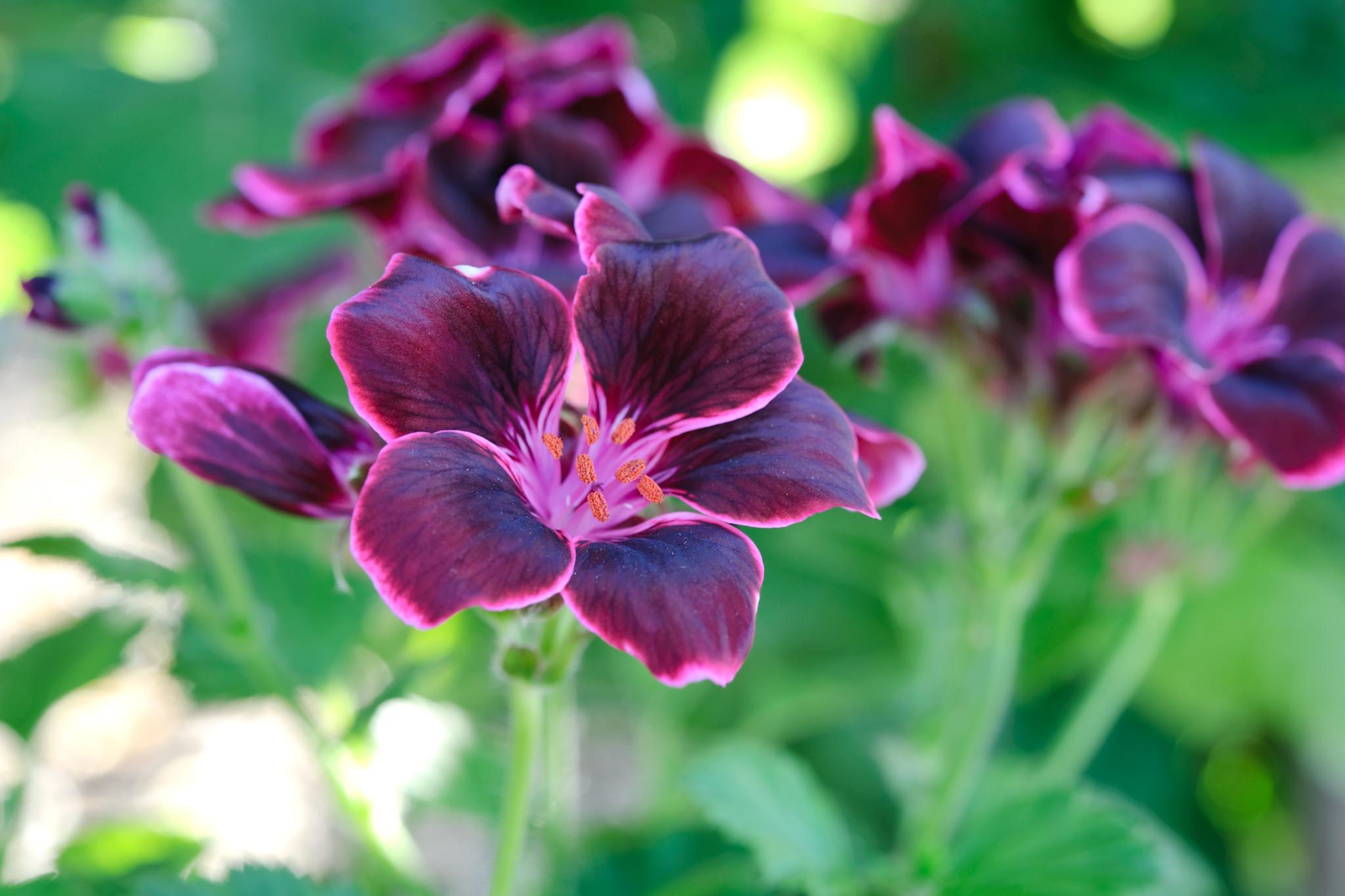 pelargonium-lord-bute-2