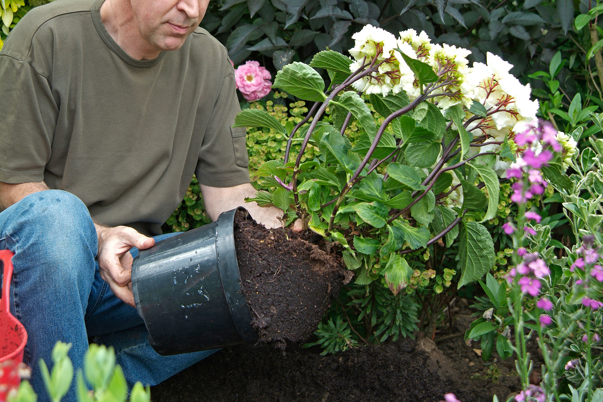 removing-the-shrub-from-the-pot-2
