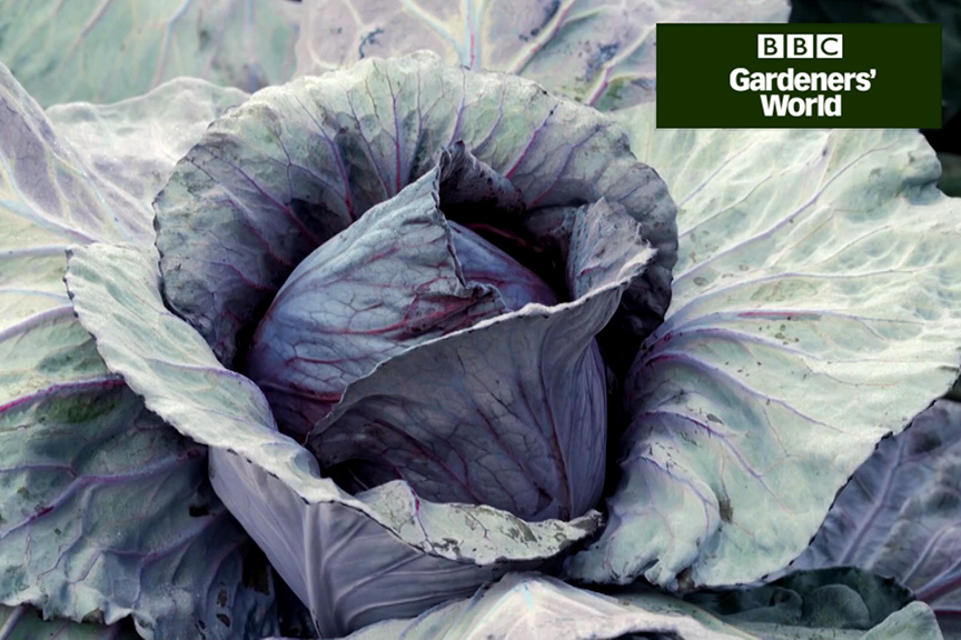 How to plant winter cabbages video