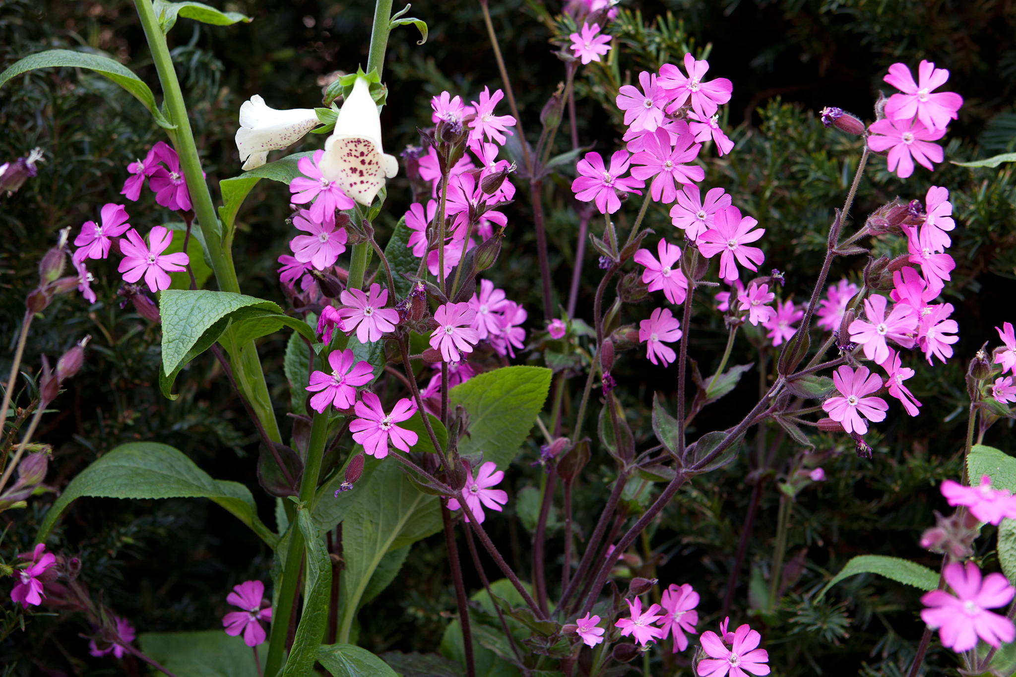 red-campion-silene-dioica-5