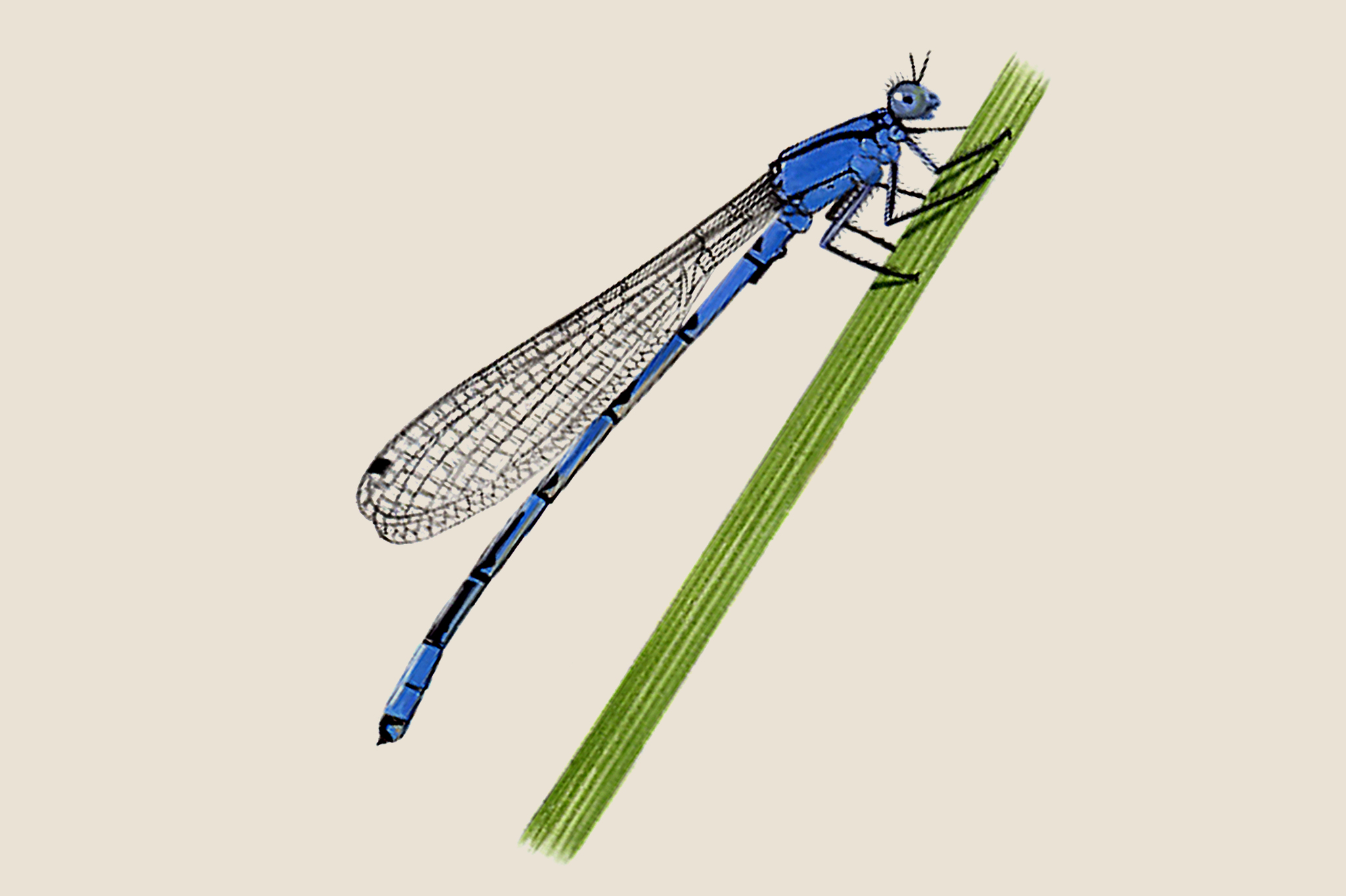 common-blue-damselfly-enallagma-cynathigerum-2