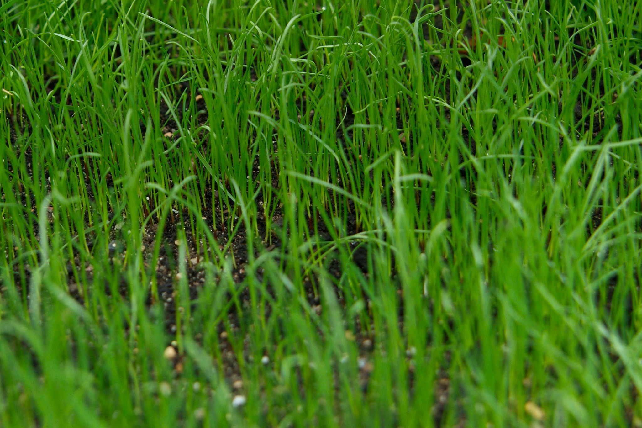 A lawn grown from seed