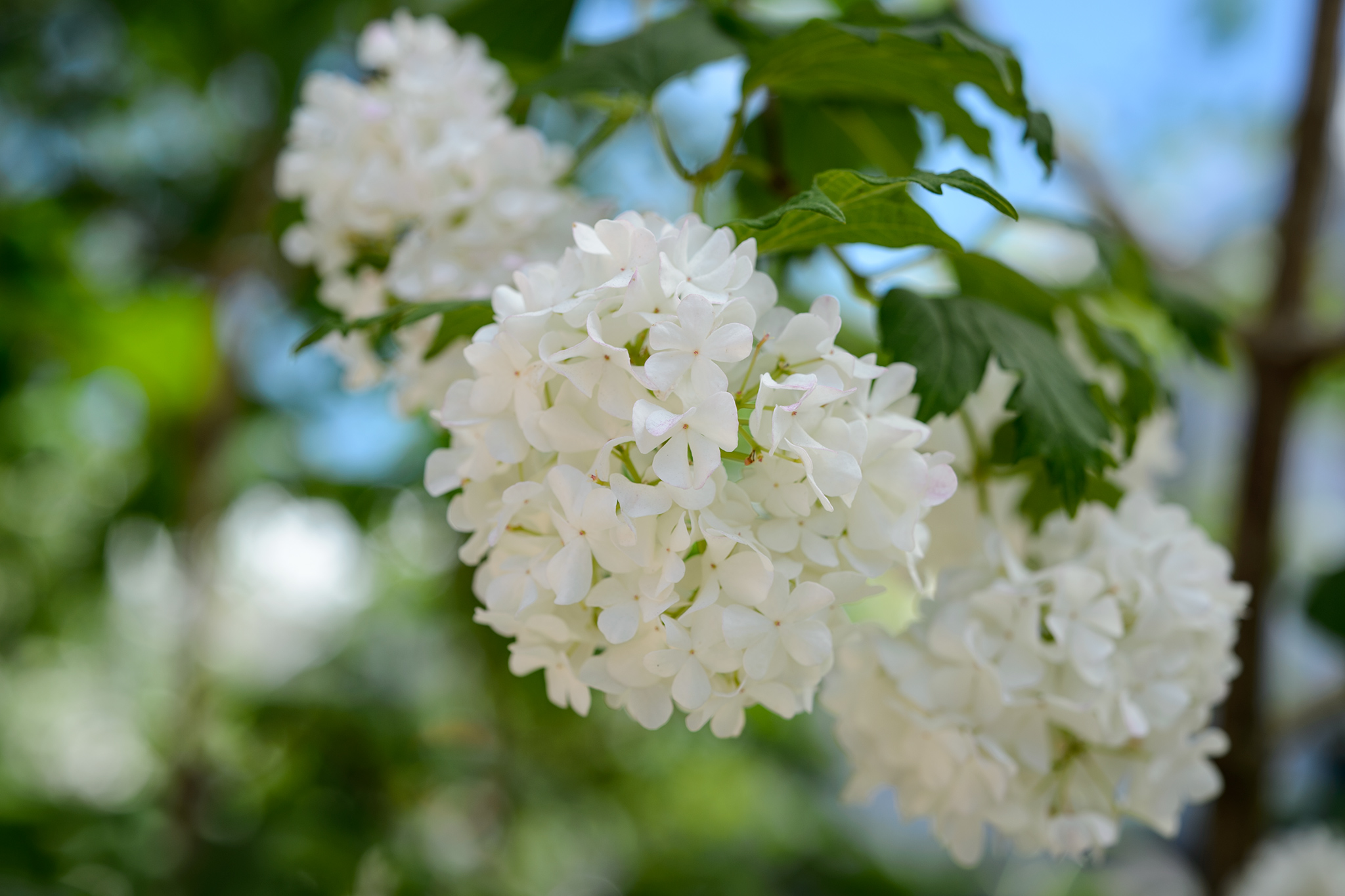 Plants that Look Good All Year - Viburnum opulus