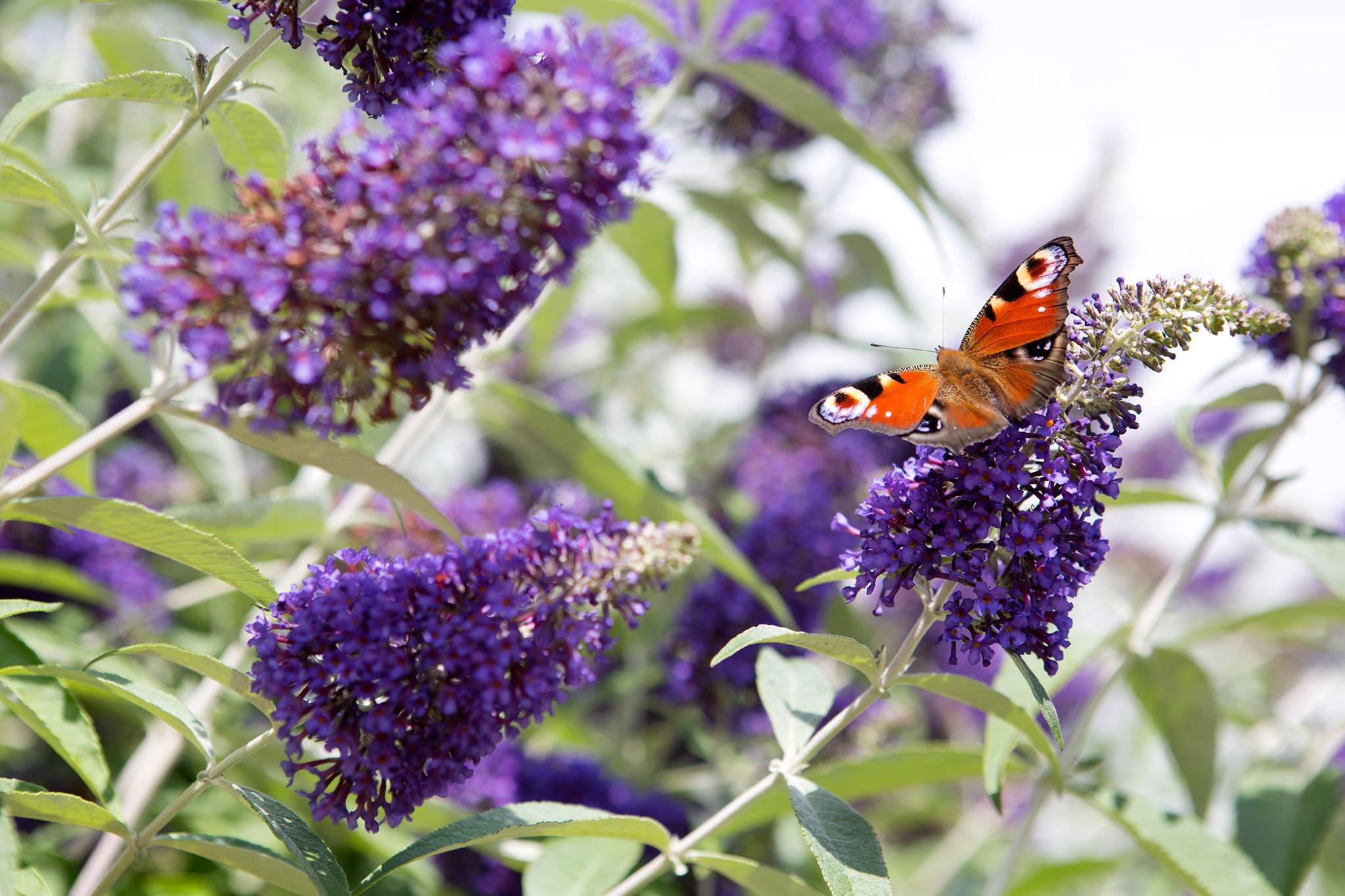 shrubs-for-butterflies-buddleja-davidii-cotswold-blue-6