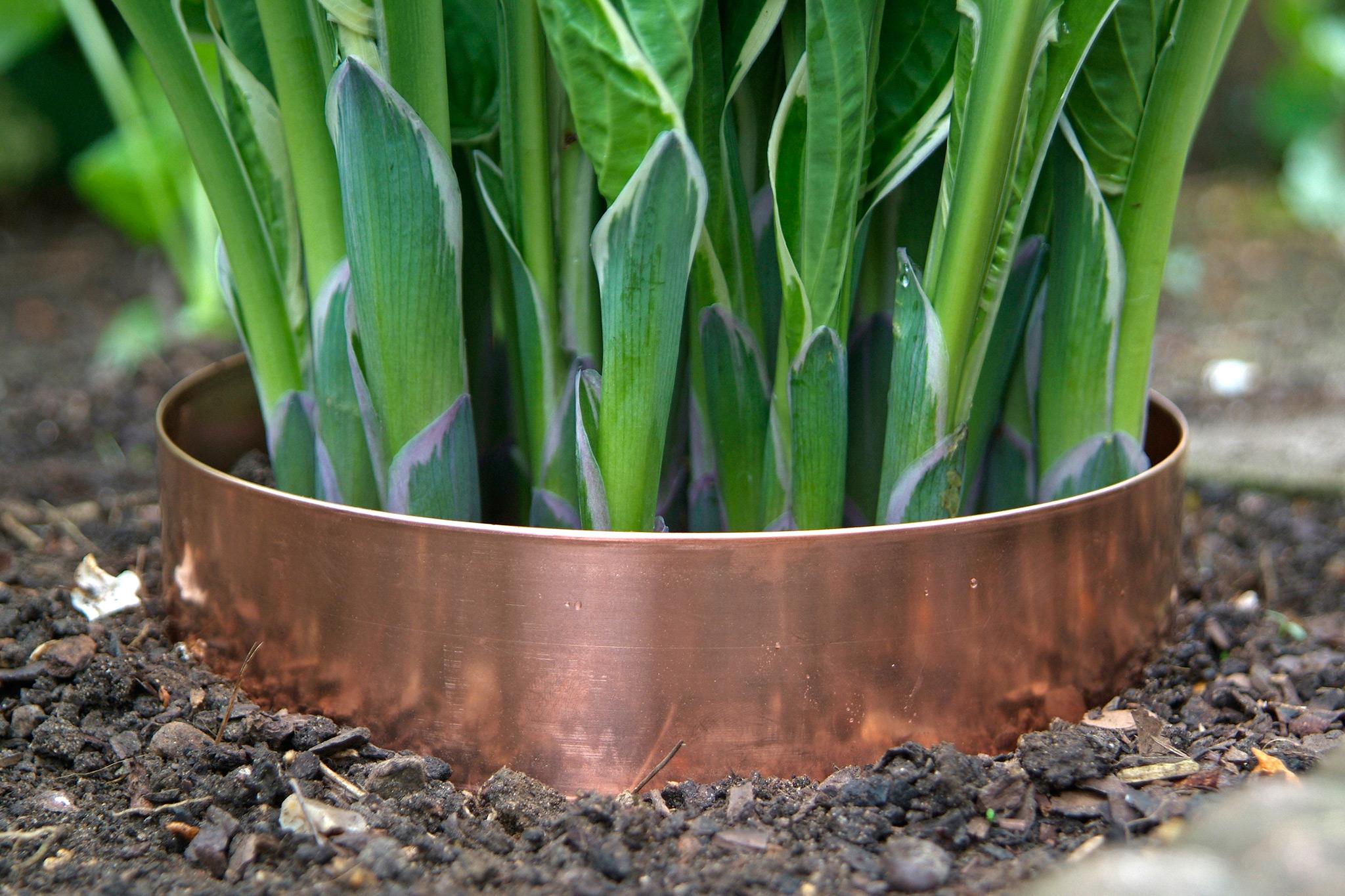 copper-band-around-hostas-2